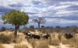 Elephants in savana Stock Image