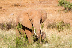 Elephants in the savana Royalty Free Stock Images