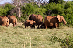 Elephants in the savana landscape Stock Images