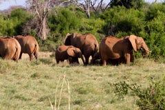 Elephants in the savana landscape Stock Images