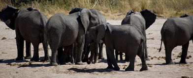 Elephants in savana river Stock Images