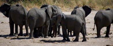 Elephants in savana river Stock Images