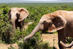 Elephants in savanna Stock Photography