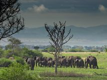 Elephants in savanna. Troop of elephants in african savanna Stock Images