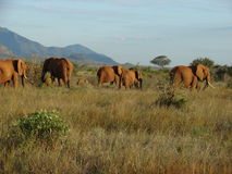 Elephants on the savanna Royalty Free Stock Photos