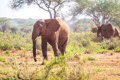 Elephants on savanna, Kenya Stock Photography