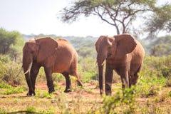 Elephants on savanna, Kenya Royalty Free Stock Photo