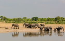 Elephants in the savanna of in Zimbabwe, South Africa.  stock image