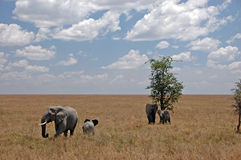 Elephants In The Savannah Royalty Free Stock Images