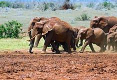 Elephants in the savannah Stock Photos