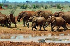 Elephants in the savannah Royalty Free Stock Photos