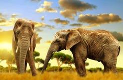 Elephants on the savannah. At sunset Royalty Free Stock Photography