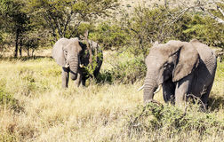 Elephants in the savannah of Tanzania Royalty Free Stock Photo