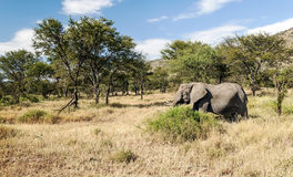 Elephants in the savannah of Tanzania Royalty Free Stock Photography