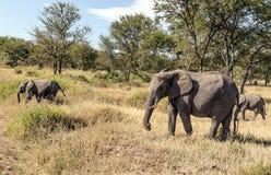Elephants in the savannah of Tanzania Royalty Free Stock Image