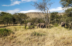 Elephants in the savannah of Tanzania Royalty Free Stock Image