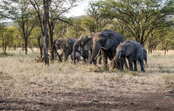 Elephants in the savannah of Tanzania Royalty Free Stock Images