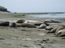 Elephants seal royalty free stock photos