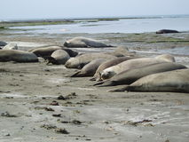 Elephants seal stock image