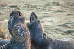 Elephants seal fighting Royalty Free Stock Photography
