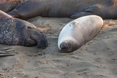 Elephants seal sleeping Royalty Free Stock Photo