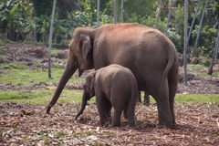 Elephants searching food. A pair of elephants, young and adult, searching for food in elephant sanctuary in Sri Lanka royalty free stock photography