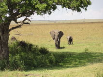 Elephants seeking shade. A mother and baby elephant seek shade in the hot African sun Royalty Free Stock Image
