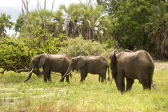 Elephants, Selous Game Reserve, Tanzania Stock Photo