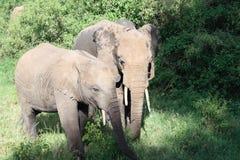 Elephants in Serengeti Royalty Free Stock Photography