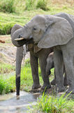 Elephants, Serengeti Royalty Free Stock Photo