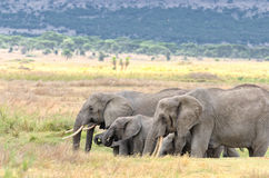 Elephants, Serengeti Royalty Free Stock Photography