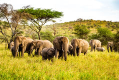 Elephants in the Serengeti. Serengeti means endless in Swahili Royalty Free Stock Image