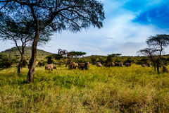 Elephants in the Serengeti Royalty Free Stock Photos