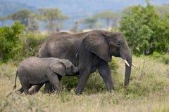 Elephants in Serengeti National Park, Tanzania Stock Photos