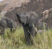 Elephants in Serengeti National Park, Tanzania Royalty Free Stock Image