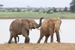 Elephants Shortly Before Mating Royalty Free Stock Image