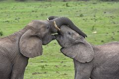 Elephants showing affection with trunks intertwined. On a green grassland background. Picture was taken in Addo Elephant park stock images