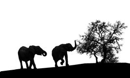Elephants silhouette. A couple of elephants silhouette isolated on white background royalty free stock images