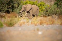 Elephants in the Skeleton Coast Desert Royalty Free Stock Images
