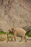 Elephants in the Skeleton Coast Desert Stock Photography