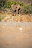 Elephants in the Skeleton Coast Desert Stock Photo