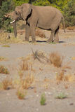 Elephants in the Skeleton Coast Desert Royalty Free Stock Photos