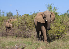 Elephants. Small herd of elephants in Kruger Narional Park, South Africa Stock Image
