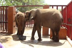 Elephants at snack time in Karachi zoo royalty free stock photography