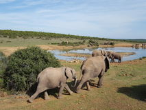 Elephants in south Africa. Royalty Free Stock Images