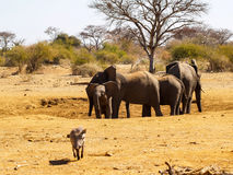 Elephants in South Africa family in dry waterhole with young and Stock Photography