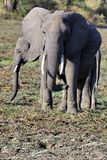 Elephants in South Luangwa Royalty Free Stock Photos