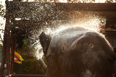 Elephants spray water on themselves happily. Stock Photos