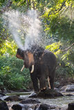 Elephants spraying water Royalty Free Stock Images