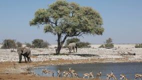 Elephants and springbok antelopes - Etosha stock video